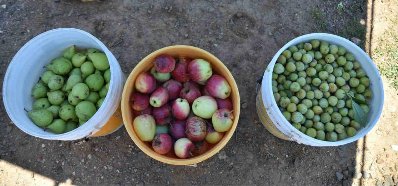Benefician a familias de la Capital con huertos de manzano